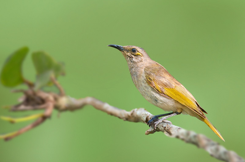 Brown Honeyeater - Lichmera indistincta (Abbatoir Swamp, Julatten, Qld)