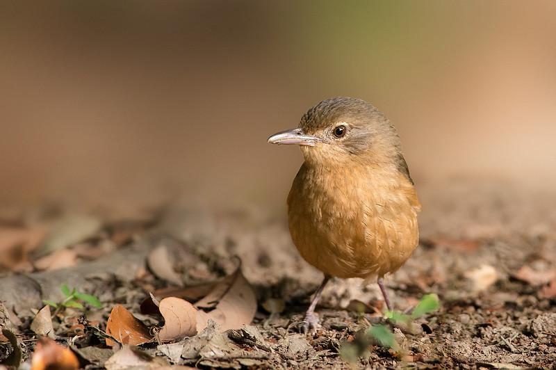 Little Shrike-thrush - Colluricincla megarhyncha (Julatten, Qld)