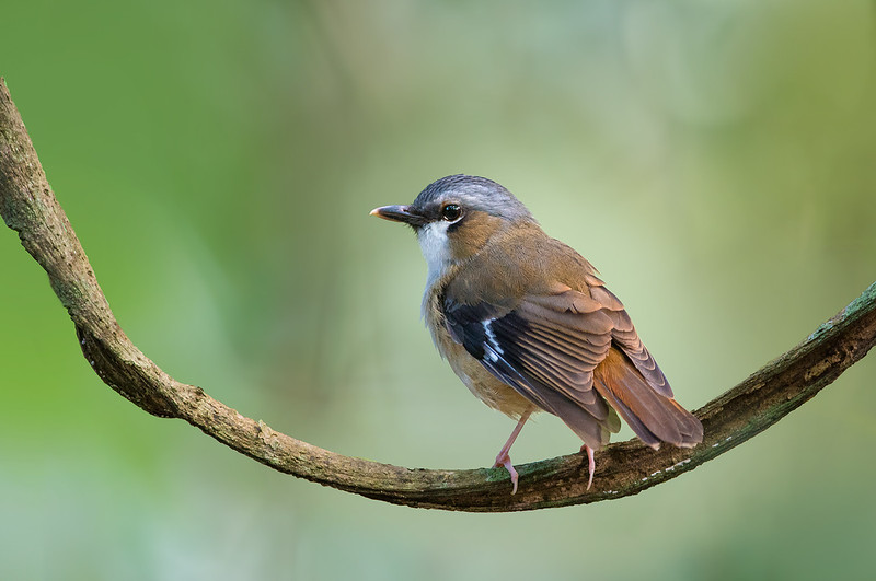 Grey-headed Robin - Heteromyias cinereifrons (Julatten, Qld)
