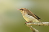 Brown-backed Honeyeater - Ramsayornis modestus (Abbatoir Swamp, Julatten, Qld)