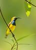 Olive-backed Sunbird - Nectarinia jugularis (m) (Catanna Wetlands, Cairns, Qld)