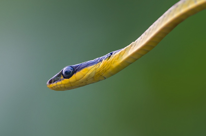 Northern Tree Snake - Dendrelaphis calligastra (Daintree River, Qld)