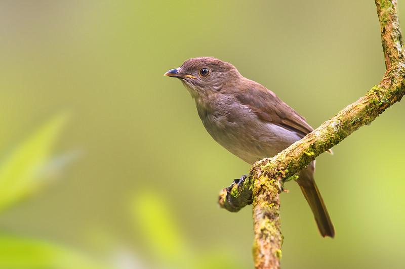 Golden Bowerbird - Prionodura newtoniana (f) (Mt Lewis, Qld)