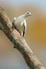 Pied Imperial-Pigeon - Ducula bicolor (Cairns, Qld)