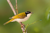 White-throated Honeyeater - Melithreptus albogularis (Jualtten, Qld)