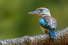Blue-winged Kookaburra - Dacelo leachii (Centenary Lakes, Cairns, Qld)