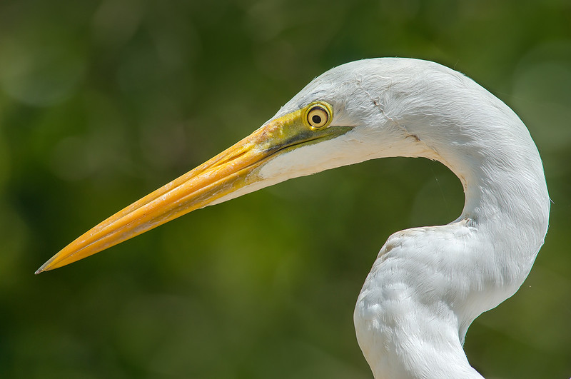 Eastern Great Egret - Ardea modesta (Centenary Lakes, Cairns, Qld)