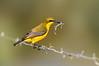 Olive-backed Sunbird - Nectarinia jugularis (f) (Daintree, Qld)