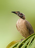 Helmeted Friarbird - Philemon buceroides (Cairns, Qld)