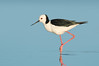 White-headed Stilt - Himantopus leucocephalus (Western Treatment Plant, Vic)