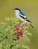 White-winged Triller - Lalage sueurii (Eynesbury, Vic)