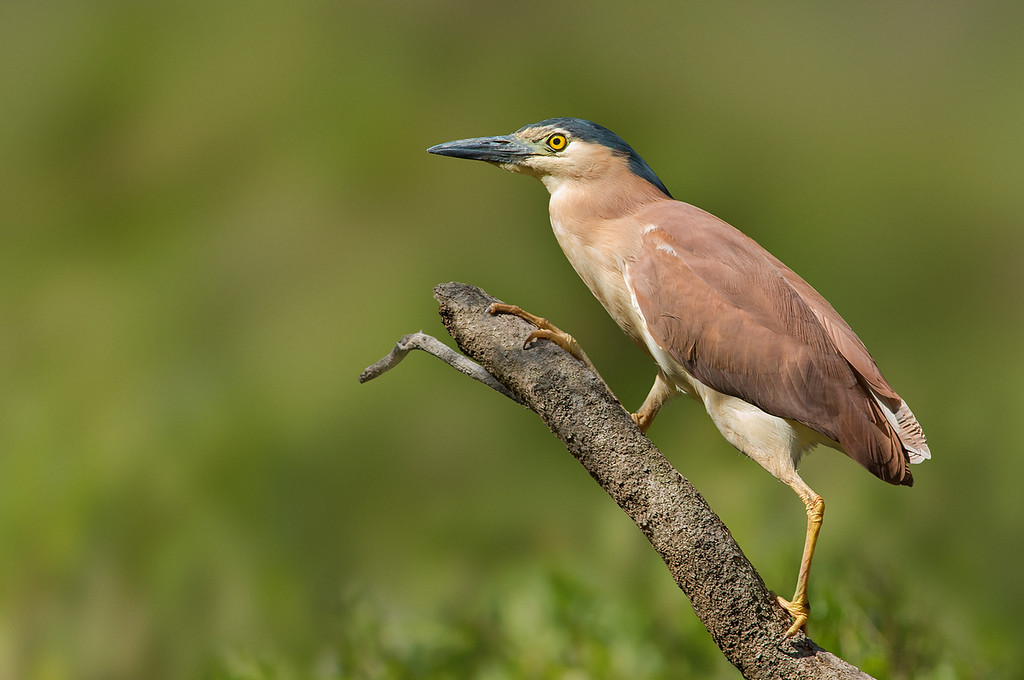 Nankeen Night Heron - Nycticorax caledonicus (Wattle Park, Vic)