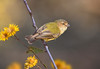 Weebill - Smicrornis brevirostris (Bendigo, Vic)