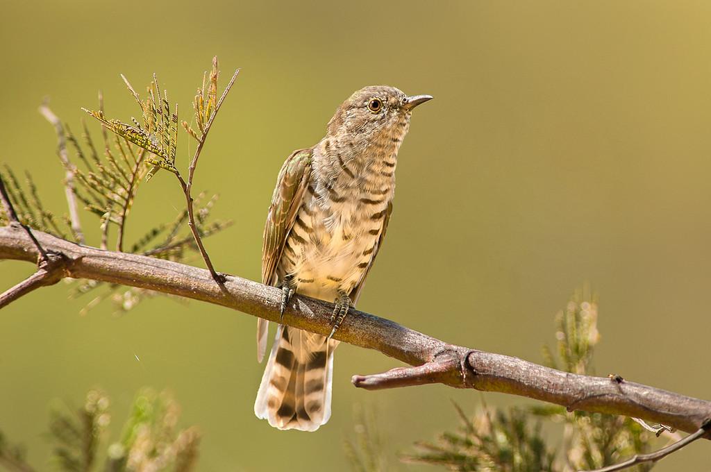 Shining Bronze Cuckoo - Chrysococcyx lucidus (Bendigo, Vic)