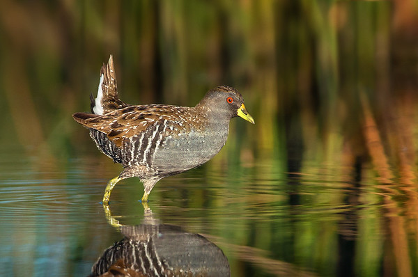 Australian Crake - Porzana fluminea (Western Treatment Plant, Vic)