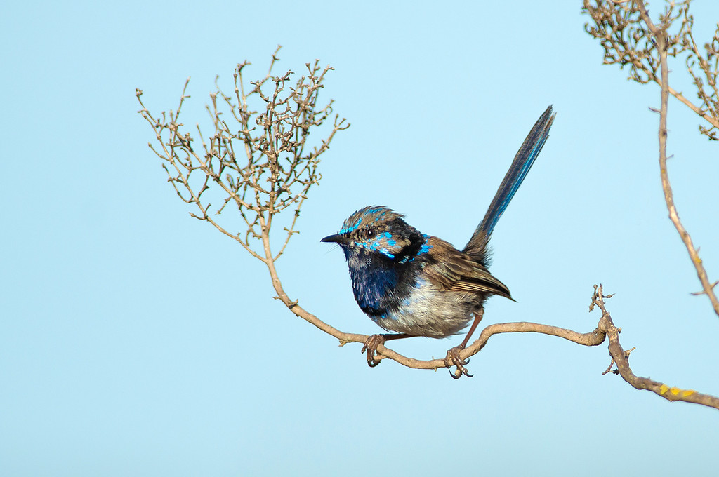 Superb Fairywren - Malurus cyaneus (Western Treatment Plant, Vic)