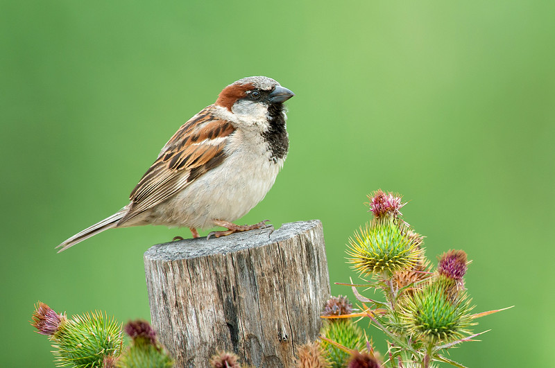House Sparrow - Passer domesticus (Werribee, Vic)