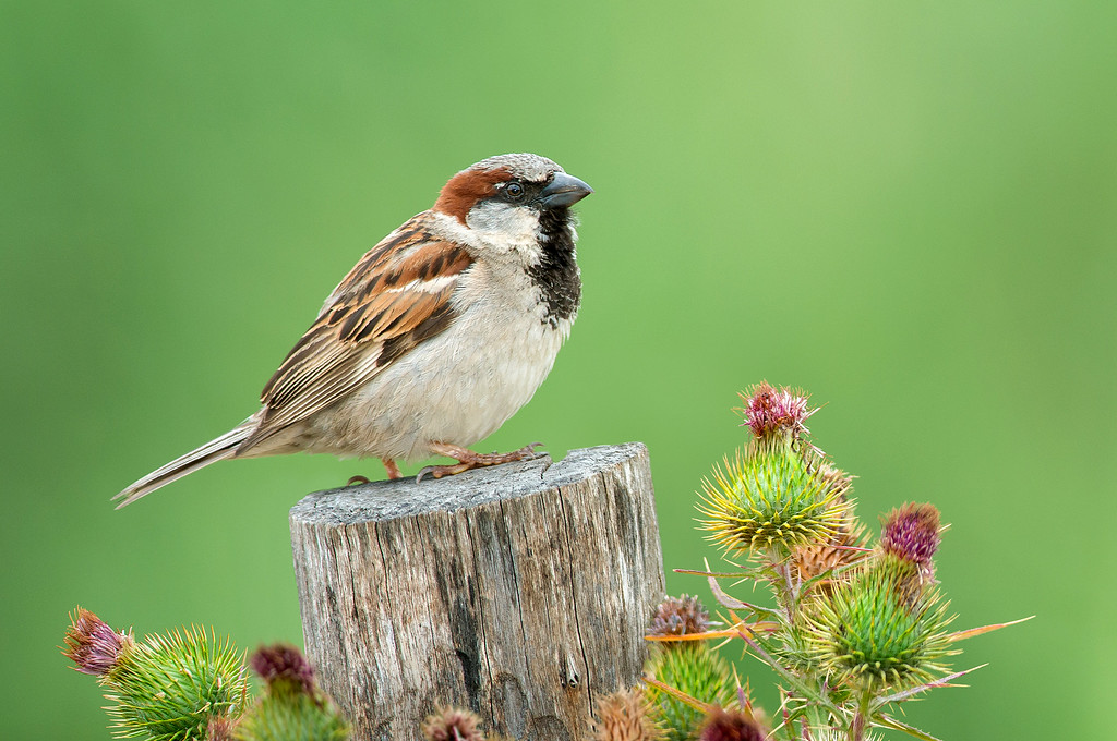 House Sparrow - Passer domesticus (Werribee, Vic)