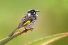 New Holland Honeyeater - Phylidonris novaehollandiae (Pt Cook, Vic)