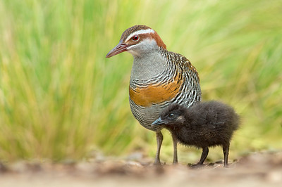 Buff-banded Rail - Gallirallus philippensis (Werribee, Vic)