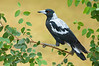 Australian Magpie - Cracticus tibicen (Surrey Hills, Vic)