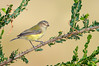 Weebill - Smicrornis brevirostris (Melbourne, Vic)