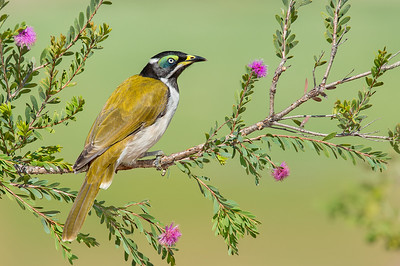 Blue-faced Honeyeater - Entomyzon cyanotis (Juv) (Kerang, Vic)