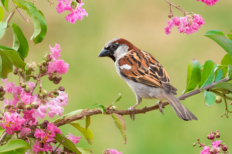 House Sparrow - Passer domesticus (Kerang, Victoria)