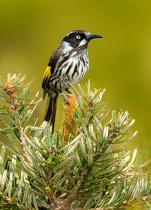 New Holland Honeyeater - Phylidonyris novaehollandiae (Cape Liptrap Coastal Park, Vic)