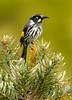 New Holland Honeyeater - Phylidonyris novaehollandiae (Cape Liptrap Coastal Park, Vic)