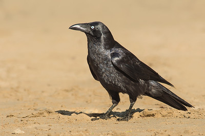 Forest Raven - Corvus tasmanicus (Walkerville South, Vic)