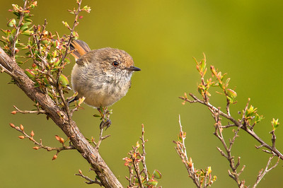 Brown Thornbill - Acanthiza pusilla (Cape Liptrap Coastal Park, Vic)