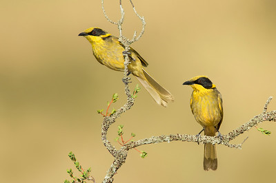 Yellow-tufted Honeyeater - Lichenostomus melanops (Glenrowan, Vic)