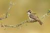 Brown-headed Honeyeater - Melithreptus brevirostris (Glenrowan, Vic)