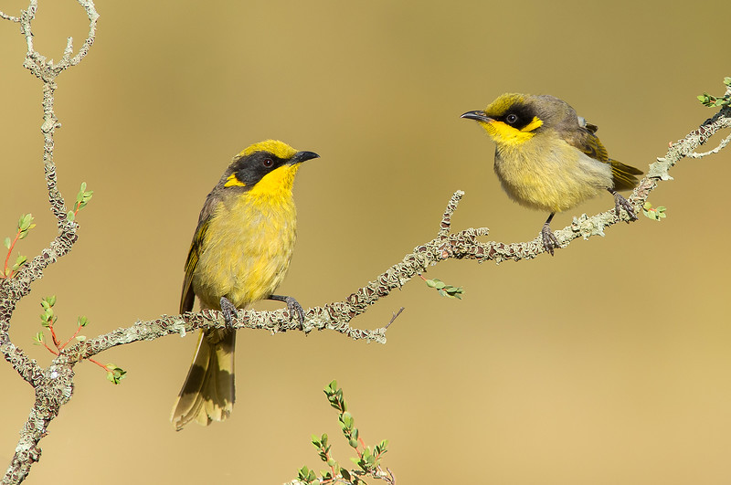 Yellow-tufted Honeyeater - Lichenostomus melanops (Glenrowan, Vic) (adult + juvenile)
