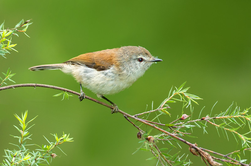 Brown Gerygone - Gerygone mouki richmondi (Tarago SF, Vic)