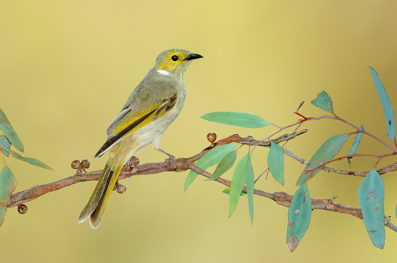 White-plumed Honeyeater - Ptilotula penicillata (Glenrown, Vic)