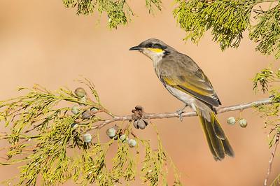 Singing Honeyeater - Gavicalis virescens (Swan Hill, Victoria)