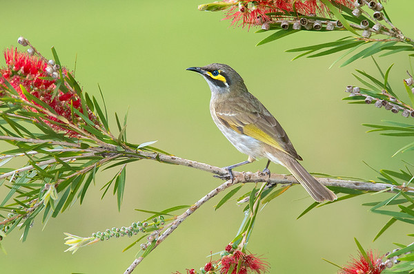 Yellow-faced Honeyeater - Lichenostomus chrysops (Tathra, NSW)