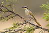 Singing Honeyeater - Gavicalis virescens (Swan Hill, Victoria)