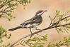 Spiny-cheeked Honeyeater - Acanthagenys rufogularis (Swan Hill, Victoria)