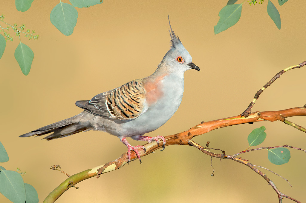 Crested Pigeon – Ocyphaps lophotes (Benalla, Victoria)