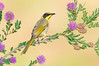 Yellow-tufted Honeyeater – Lichenostomus melanops (Benalla, Victoria)