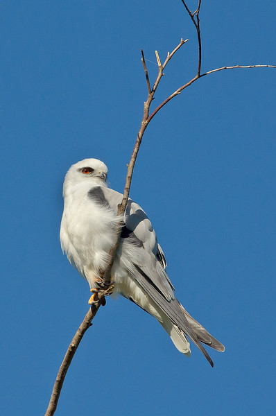 Black-shouldered Kite - Elanus axillaris (Western Treatment Plant, Victoria)