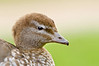 Australian Wood Duck - Chenonetta jubata (f) (Brownhill Creek, South Australia)
