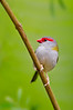 Red-browed Finch - Neochmia temporalis (Upper Sturt, South Australia)