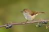 Brown Thornbill - Acanthiza pusilla (Banyule Flats, Vic)