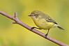 Yellow Thornbill - Acanthiza nana (Banyule Flats, Vic)