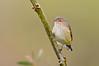 Weebill - Smicrornis brevirostris (Brownhill Creek, Adelaide)