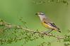 Striated Pardalote - Pardalotus striatus ornatus (Surrey Hills, Vic)